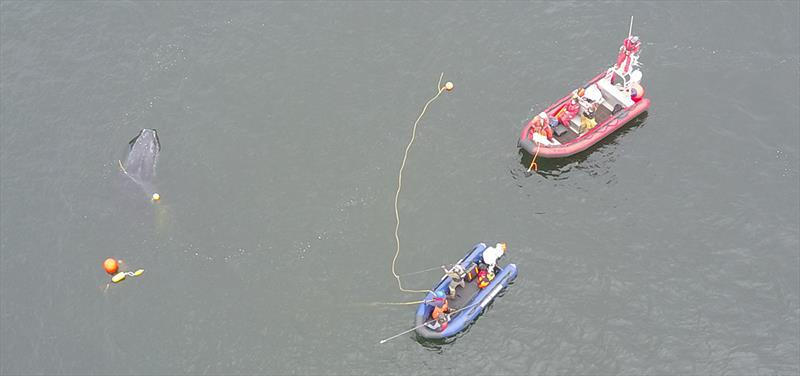 In this aerial photo taken by a drone, disentanglement teams work to free a 25-foot long humpback whale entangled in fishing gear. The whale is visible on the left and the crew in the blue boat is attempting to access the lines to cut the whale free. - photo © Ben Lester/NOAA Fisheries, NOAA Fisheries MMHSRP Permit# 18786-01